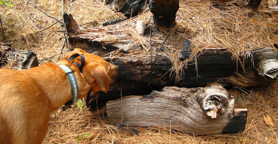 Photo of dog Sniffing out a geocache at Boggs Mountain Demonstration State Forest
