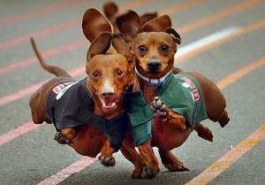 Photo of dachsunds racing at the Lakeport, CA Oktoberfest derby