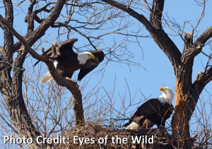 Photo of Bald eagles