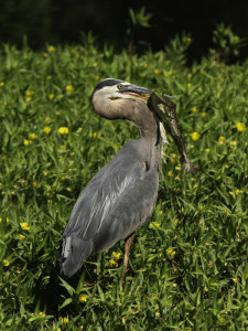 Photo of Great Blue Heron with bull frog at Clear Lake State Park