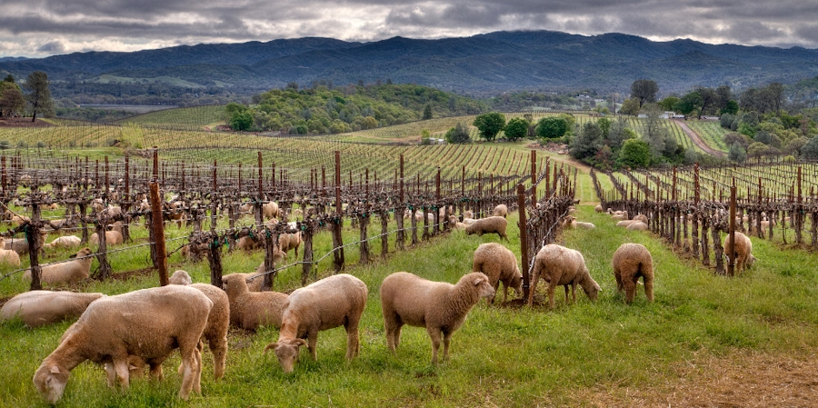 Photo of Sheep grazing at Vigilance vineyards